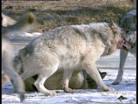 Group of grey wolves fighting with blood stained faces, Halifax, Nova Scotia.
