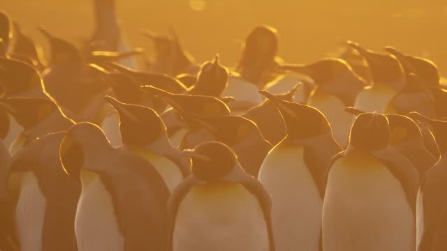 MS group of King Penguins Aptenodytes patagonicus standing at sunset / Volunteer Point, Falkland Islands