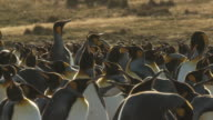 MS Group of King Penguins Aptenodytes patagonicus / Volunteer Point, Falkland Islands