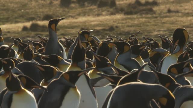 MS Group of King Penguins Aptenodytes patagonicus / Volunteer Point, Falkland Islands