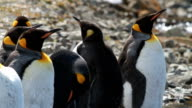 PAN Group of King Penguins on rocks with sun reflecting on water, Grytviken, South Georgia and the South Sandwich Islands