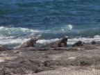 Group of marine iguanas at the sea shore