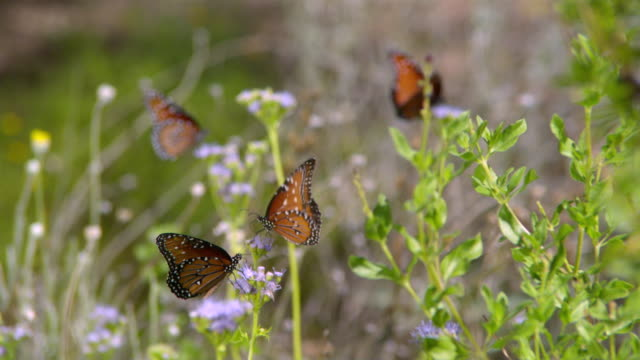 CU SLO MO Group of monarch butterflies flying on purple flowers / Santa Barbara, California, United States