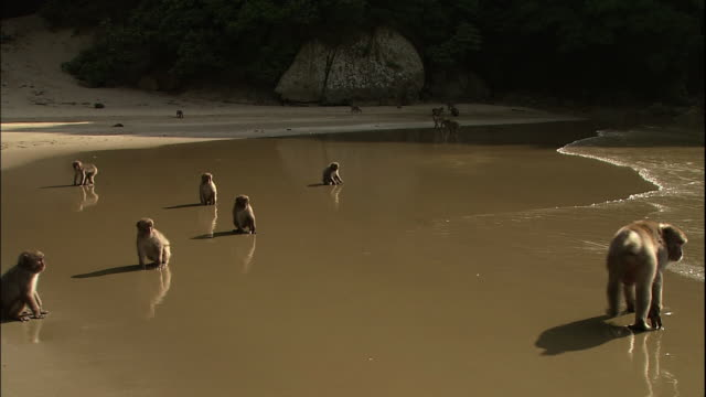A group of monkeys running back and forth on the beach.