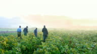 MS Group of organic farmers walking through squash field on way to harvest on foggy fall morning at sunrise rear view