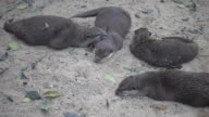 Group of otter resting on ground.
