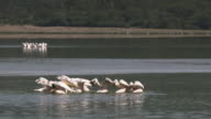 Group of pelicans fishing in slow motion