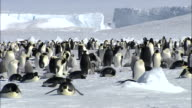 WS PAN Group of penguins at snow AUDIO / Ekström Ice Shelf,Atka Iceport Emperor Penguin Colony, Queen Maud land, Antarctica