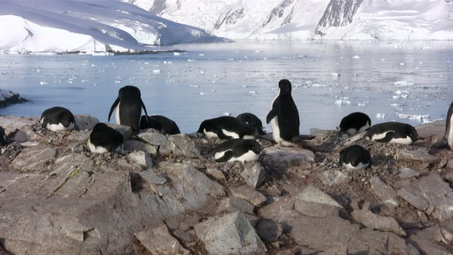 MS Group of penguins sitting near river  AUDIO