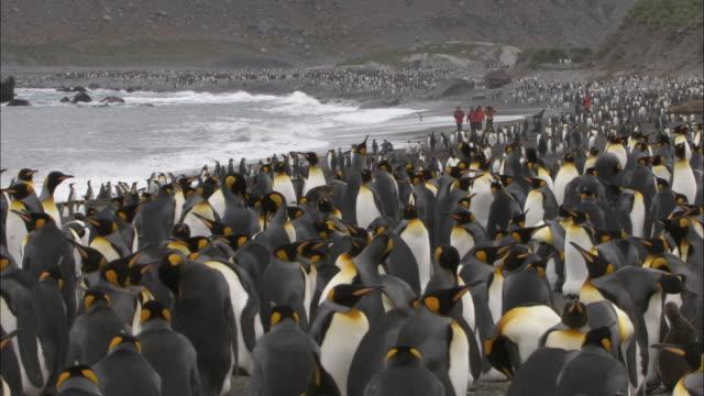 WS, Group of people among King Penguins (Aptenodytes patagonicus) at sea shore, South Georgia Island