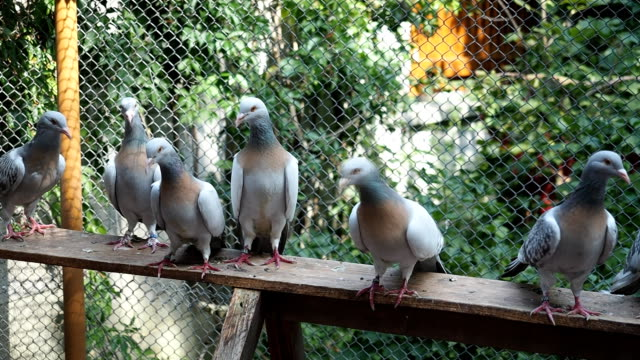 Group of pigeons in aviary