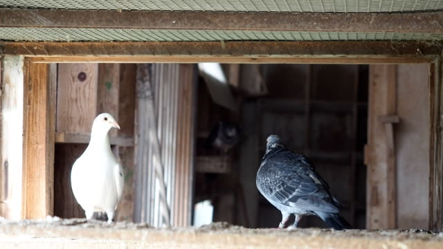 Group of pigeons in dovecote