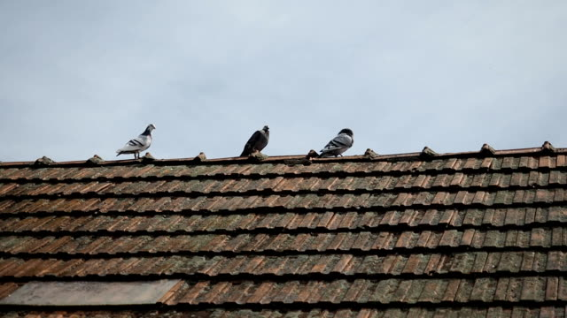 Group of pigeons on the roof