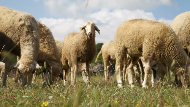Group of sheep and rams gazing on a pasture