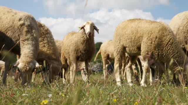 Gruppe von Schafen und Schafe Weiden auf einen Blick