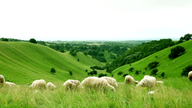 Group of sheeps grazing in the field