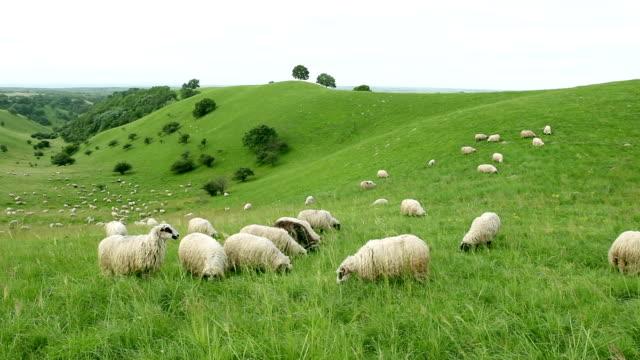 Gruppe von sheeps Grasen auf dem Feld