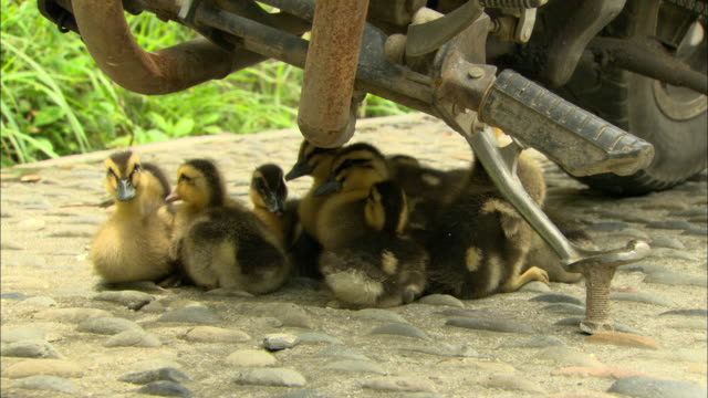 CU Group of small ducklings huddling together under motorcycle, Guilin, Guangxi Zhuang Autonomous Region, China