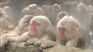 A group of snow monkeys bathe together in Jigokudani Monkey Park in Japan.