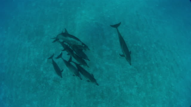 MS TS Group of spotted dolphins swimming  AUDIO / Florida, United States