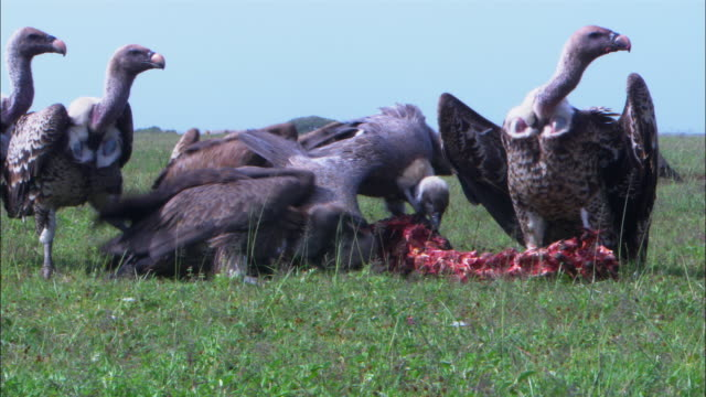 MS group of varied vultures pulling at remains of zebra carcase close to camera scatter as hyena comes in picks up piece of zebra and runs off