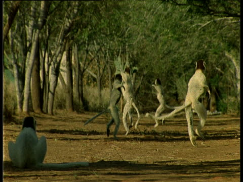 Group of Verreaux's Sifakas hop down the road away from the camera