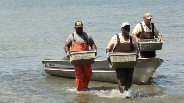 WS PAN Group of Watermen Carrying Bins of Clams Ashore / Oyster, Virginia, USA