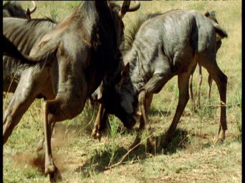Group of wildebeest panic and run away, Masai Mara