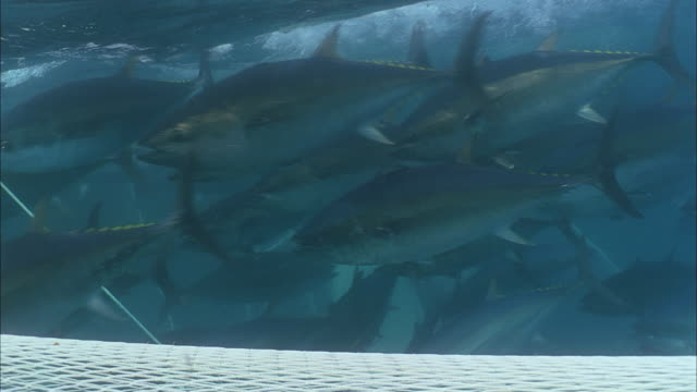 SLO MO CU Group of Yellowfin tuna (Thunnus albacares) swimming back and forth just below water's surface and above net / Moorea, Tahiti, French Polynesia
