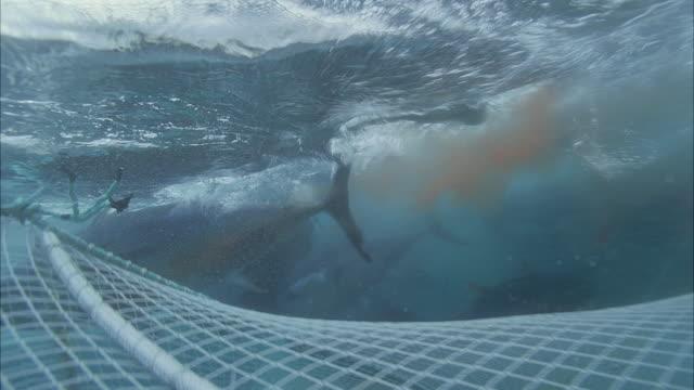SLO MO MS Group of Yellowfin tuna (Thunnus albacares) swimming below water's surface and above net / Moorea, Tahiti, French Polynesia