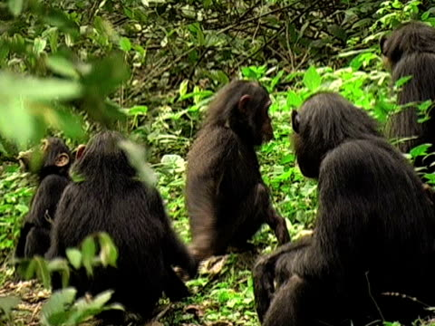 ZI, CU, Group of young chimps (Pan troglodytes) in forest, two holding hands and playing, Gombe Stream National Park, Tanzania
