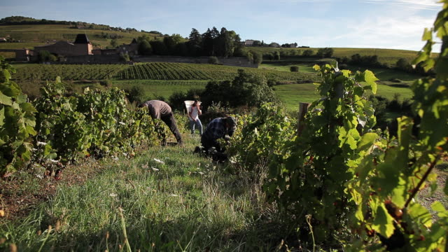 group of young people picking grapes in vineyard