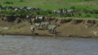 SLOMO group of Zebra look nervously into river with Nile crocodile on surface