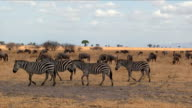 Group of zebras in Tarangire National Park / Tanzania.