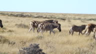 MS Group of zebras walking in grassy field / Ongava, Kunene, Namibia