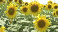 Group shot of sunflowers
