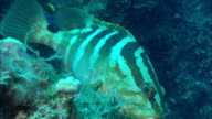 Grouper, in territory, Eleuthera, Bahamas
