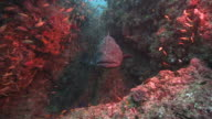 A grouper rests in a coral reef while a shoal of small fish swim around it. Available in HD.