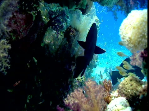 Grouper swims through shoal of glassfish in coral cave, Red Sea