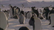 MS Groups of penguins and chicks in snow fall AUDIO / Ekström Ice Shelf,Atka Iceport Emperor Penguin Colony,  Queen Maud land, Antarctica