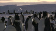 MS PAN Groups of penguins and chicks in snow fall AUDIO / Ekström Ice Shelf,Atka Iceport Emperor Penguin Colony,  Queen Maud land, Antarctica