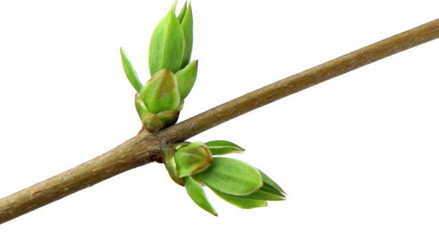 Growing branch - panning, time lapse