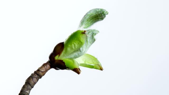 Growing chestnut leafs