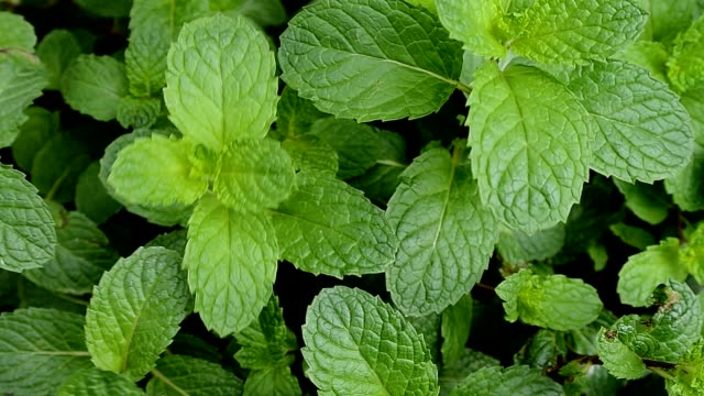 Growing mint plant leaves,Dolly shot
