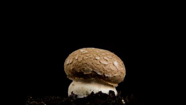 Growing mushroom, time lapse.