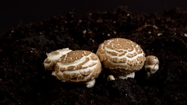 Growing mushrooms, time lapse.