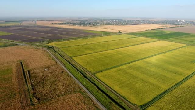 Groeiende rijst op overstroomd velden. Rijpe rijst in het veld, het begin van de oogsten. Een vogelvlucht bekijken.