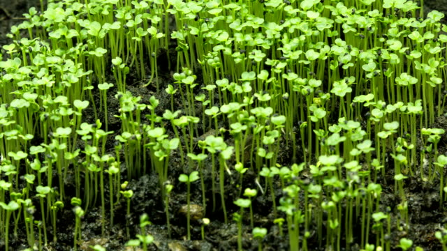 growing seeds a new life of plant, time lapse
