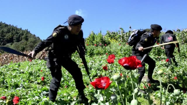 Guatemala security forces destroy a 128 hectare poppy plantation near the Mexico border CLEAN Guatemala security forces destroy poppy pl on December...