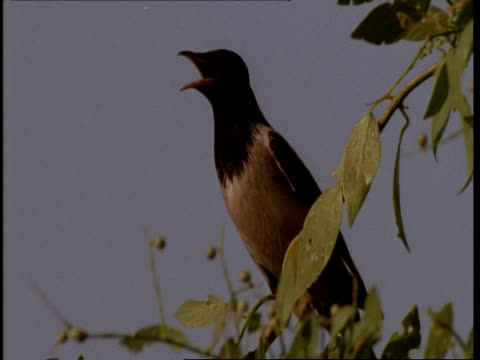 CU Gujarat, Indian bird in tree, singing, Gujarat, India